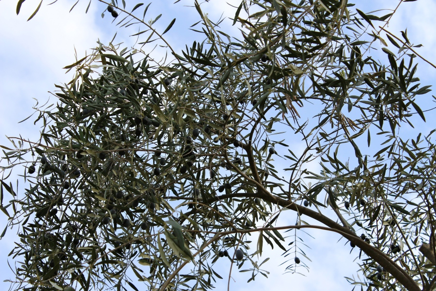 The ubiquitous Olive Tree.