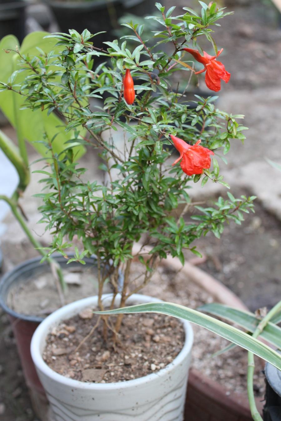 baby pomegranate tree!
