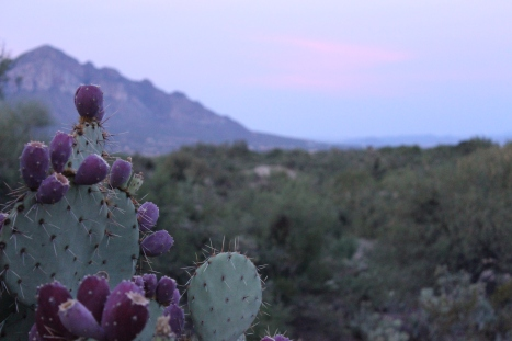 Early-morning prickly pears.