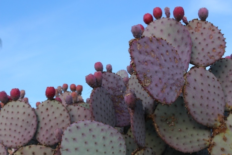prickly pears and their fruits.