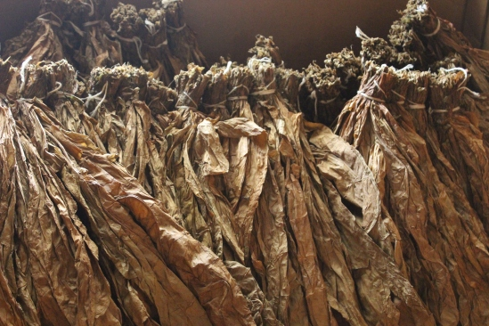 Bundles of tobacco leaves used for cigars wrappers.
